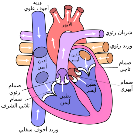 650px-Diagram_of_the_human_heart_(cropped)-ar.svg
